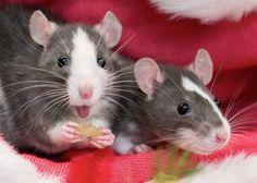 CUTE RAT FRIENDS Funny Rats, Cute Rats, Farm Animals, Animals And Pets, Cute Animals, Strange Animals, Small Animals, Beautiful Creatures, Animals Beautiful