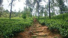Tea plantations, Ceylon