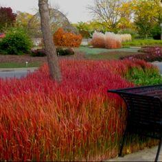 Japanese Blood Grass Canada imperata cilindrica red baron: Red Japanese Grass, Canada Imperata,