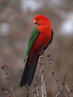 Australian King Parrot (Alisterus scapularis) endemic to eastern Australia Different Birds, Kinds Of Birds, All Birds, Love Birds, Pretty Birds, Beautiful Birds, Animals Beautiful, Beautiful Pictures, Exotic Birds