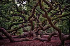 Spider Tree, Japan......I want one in my yard.....can u imagine climbing that…