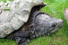 In unserer Obhut befinden sich auch vier Geierschildkröten, welche in einigen deutschen Bundesländern als Gefahrtiere eingestuft wurden und deshalb nur eingeschränkt oder gar nicht mehr gehalten werden dürfen. Unsere vier Tiere werden also voraussichtlich den Rest ihres Lebens in unserem Schildkrötenrefugium CHELONIA verbringen.