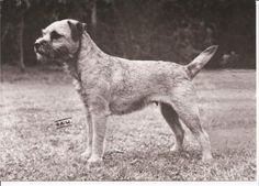 Border Terriers in the beginning
