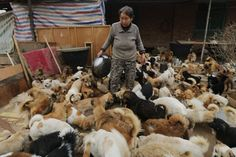These Kindhearted Chinese Women Feed 1,300 Dogs Every Single Day - http://www.weirdlife.com/these-kindhearted-chinese-women-feed-1300-dogs-every-single-day/