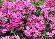 Moss Phlox forms a dense, creeping mat that grows to be six inches high and two feet wide. It is the perfect plant for rock gardens, in front of raised perennial gardens, alongside paved areas, or as one of the impressive ground cover plants on a slope. Rock Garden Plants, Garden Pests, Landscaping With Rocks, Backyard Landscaping, Landscaping Ideas, Backyard Patio, Flowers Perennials, Planting Flowers, Phlox Flowers