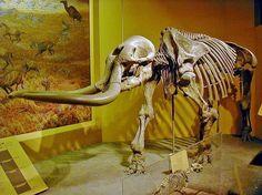 Witness This Parade of Prehistoric Pachyderms: Stegomastodon
