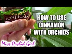Orchid treatment - How to properly use cinnamon with orchids - YouTube