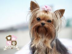 Male Yorkshire Terrier Oh, sooooo cute!