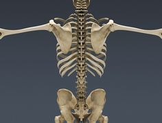 3 Human Skeleton 3d in Skeleton