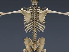 3 Human Skeleton 3d in Skeleton