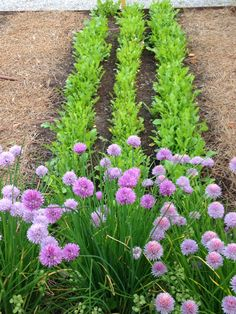 Chives and arugula in the kitchen garden