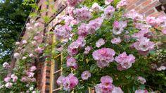 """Rambler Rose """"Apple Blossom"""" an der Backstein-Giebelwand"""