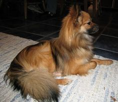 Colby the Paperanian at 8 months old—his father was a Pomeranian, mother was a Papillon.""