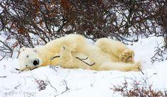 Sleepy Polar Bear Break