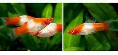 Live Aquarium Fish Koi Kohaku Swordtail breeding pair for sale. Aquarium Fish For Sale, Tropical Aquarium, Aquarium Fish Tank, Tropical Fish, Swordtail Fish, Dumbo Ears, Fish Breeding, Freshwater Aquarium Fish