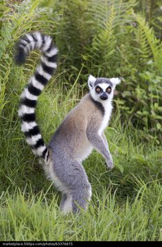Madagascar, Ring tailed lemur - stock photo