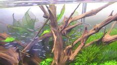 180 Gallon planted Aquarium with Cardinal tetras