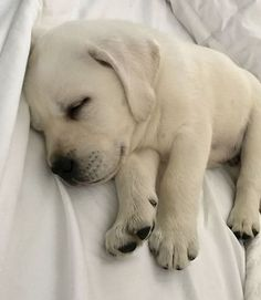 Mind Blowing Facts About Labrador Retrievers And Ideas. Amazing Facts About Labrador Retrievers And Ideas. Labrador Retrievers, Retriever Puppy, Beautiful Dogs, Animals Beautiful, Labrador Puppy Training, Labrador Puppies, Labradoodle Puppies, Baby Animals, Cute Animals