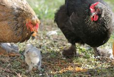 Rooster, Animals, Hens, Animales, Animaux, Animal, Animais, Chicken