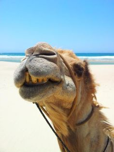 Too good a shot not to share!*** (photo: Erik Larnøy, Port Macquarie Camel Safari on Lighthouse Beach Happy Animals, Cute Animals, Funny Animals, Hump Day Camel, Selfies, Wednesday Hump Day, Port Macquarie, Funny Captions, Watercolor Animals
