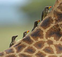 Yellow Billed Oxpeckers on the Back of a Giraffe, Serengeti National Park, Tanzania, Africa by Claudio Bacinello. Thanks to @Sylvia Barnowski Barnowski Barnowski Barnowski Chen! #Oxpeckers #Giraffe