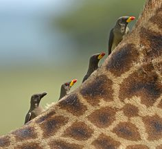 Yellow Billed Oxpeckers on the Back of a Giraffe, Serengeti National Park, Tanzania, Africa.