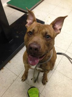 UNLISTED. URGENT Sean-Euth Date 4/17 Pit Bull Terrier Mix • Young • Male • Medium. Cleveland Animal Control Cleveland, OH. ABOUT SEAN-EUTH DATE 4/17 URGENT! NEEDS FOSTER/RESCUE!  K-138 Sean: 2 yr old, male, 53 lbs. Has until 4/17 to find rescue/adopter. Handsome pants! This boy is a stunner for sure. He seems to love going for walks, but pulls. He is playful with people, but only in short bursts. He loves to be around people, and is full of kisses.