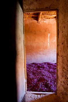Morocco, High Atlas, Dades Valley, Rose Valley, village of Hdida, freshly roses are spread in rooms has the inside of kasbahs to obtain buttons and dried rose petals