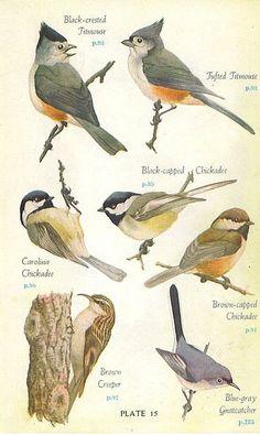 1946 Audubon Eastern Birds Book Color Plate. Backyard birds.: