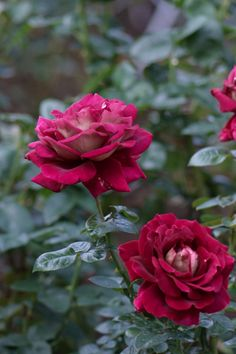Rosa 'Kronenbourg' AKA 'Flaming Peace' ~ Ireland, before 1964