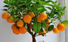 Φυτά και λουλούδια που φέρνουν τύχη! | InGolden Bonsai Fruit Tree, Potted Fruit Trees, Citrus Trees, Orange Trees, Lime Trees, Fruit Seeds, Plantas Bonsai, Bonsai Seeds, Fruit Garden