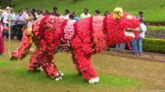 Rose Garden, Ooty, Rose Tiger at Rose Show 2014