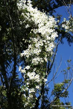 Puawhanaunga - New Zealand White Clematis - flowers in springtime, adds a touch of beauty to all the forest greenery. Coastal Gardens, White Gardens, Landscaping With Rocks, Backyard Landscaping, Landscaping Ideas, Clematis Paniculata, White Clematis, Raised Flower Beds, Garden Inspiration