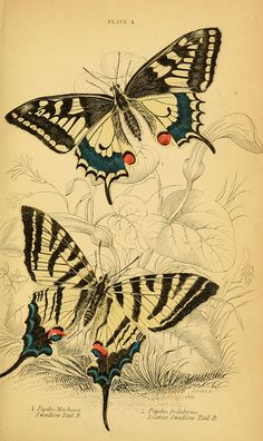 Papilio machon and Iphiclides podalirius. From the Swallowtail Garden Seeds collection of botanical photographs and illustrations. Illustration Botanique, Butterfly Illustration, Butterfly Drawing, Botanical Illustration, Botanical Art, Vintage Butterfly Tattoo, Vintage Tattoos, Image Nature, Images Vintage
