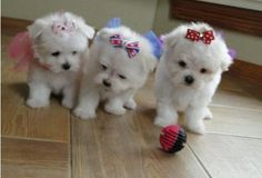 <3 Maltese puppies Too precious for words.