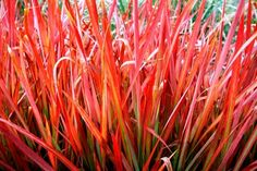 Imperata cylindrica 'Rubra' – a perennial grass with beautifully colored and textured blades. Commonly known as Japanese Bloodgrass, this ornamental grass is an excellent choice for creating dramatic effects