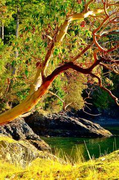 Arbutus Tree, Weird Trees, Bowen Island, Smile Wallpaper, Tree Paintings, Downtown Vancouver, Autumn Trees, Tree Art, Landscape Photos