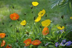 Siperianunikko Arctic, Shrubs, Iceland, Perennials, Poppy, Garden Ideas, Trees, Gardening, Mood