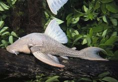 Unusual Rain Forest Animals | Picture of a new species of armored, wood-eating catfish captured in ...