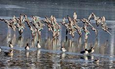 Patos selvagens busca de comida em um pantanal em Qinhuangdao, uma cidade costeira na província de Hebei, China