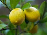 Meyer lemon trees yield plump, fragrant, juicy lemons in pots or your own backyard. Freezing Fresh Herbs, Freezing Lemons, Freezing Fruit, Citrus Trees, Fruit Trees, Citrus Fruits, Can You Freeze Lemons, Organic Gardening, Gardening Tips