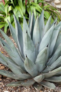 Agave Nigra (Sharkskin Agave) - License Botanical Images & Stock Photography  from http://archive.chrisridley.co.uk - This image is Copyright Chris Ridley.