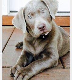 Baby blue silver lab love