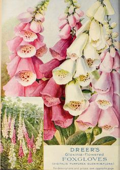 A Pretty Vintage Packet of Foxglove Seeds . Vintage Diy, Vintage Ephemera, Vintage Postcards, Vintage Labels, Seed Illustration, Botanical Illustration, Botanical Prints, Garden Catalogs, Seed Catalogs