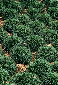 "Dwarf Mondo Grass - Easy care. 4-6"" clumps."