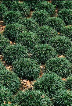 """Dwarf Mondo Grass - Easy care.  4-6"""" clumps."""