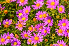 pink daisy flower daisies in the summer