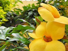 amarelas e lindas