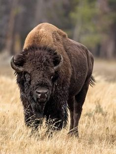 size: Photo: Bull Bison by Larry McFerrin : Buffalo Animal, Buffalo Art, Buffalo Pictures, Bison Print, Moose Deer, Fireplace Pictures, Native American Images, American Bison, Large Animals