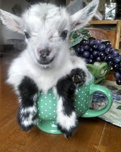 Everybody needs a cup of goat in the morning!